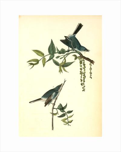 Blue-Grey Flycatcher. (Black Walnut. Juglans nigra.), Audubon, John James, 1785-1851 by John James Audubon