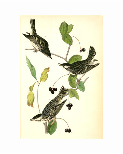 Blue-Grey Flycatcher. (Black Walnut. Juglans nigra.) by John James Audubon