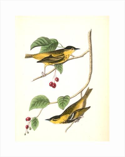Carbonated Swamp-Warbler. Males. (May-bush or Service. Pyrus Botryapium.) by John James Audubon