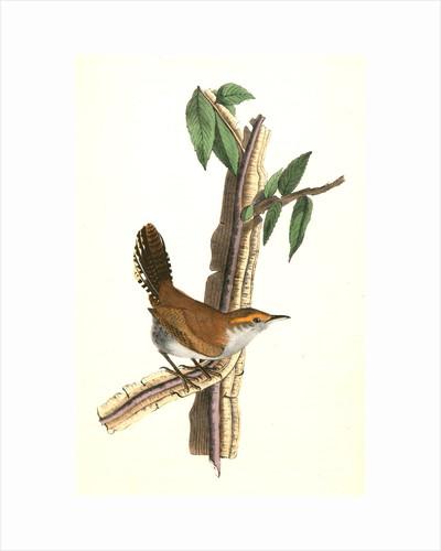 Bewick's Wren. Male. (Iron-wood Tree) by John James Audubon