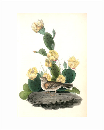 Bay-winged Bunting. Male. (Prickly Pear. Cactus Opuntia.) by John James Audubon