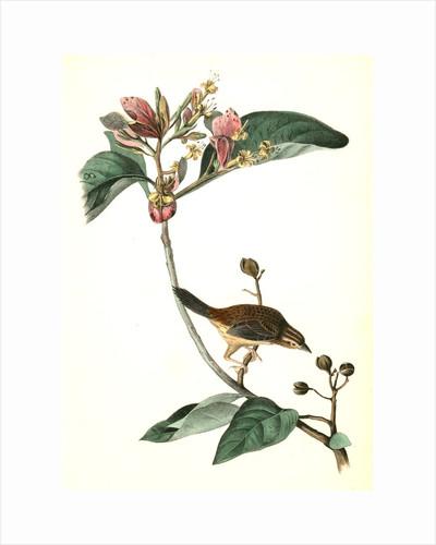 Bachman's Pinewood Finch. Male. (Pinckneya pubescens) by John James Audubon