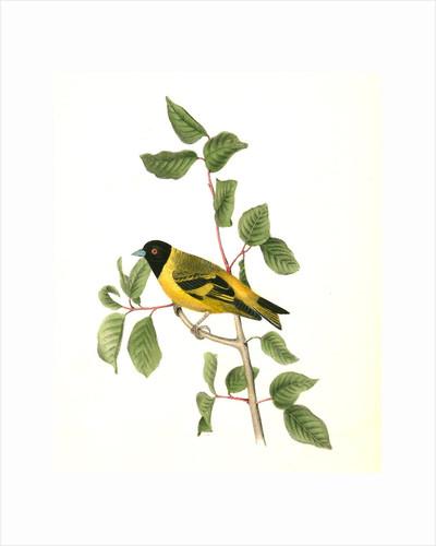 Black-headed Goldfinch. Male by John James Audubon