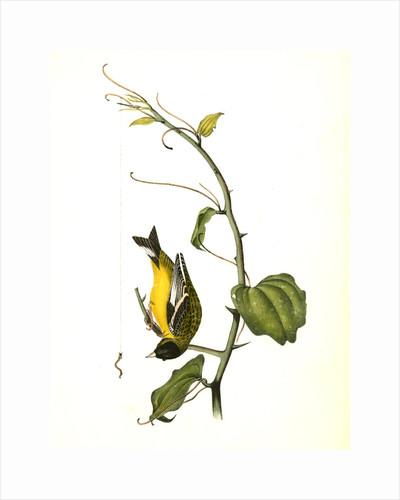 Arkansaw Goldfinch. Male by John James Audubon