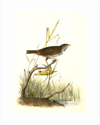 Brown Finch. Female by John James Audubon