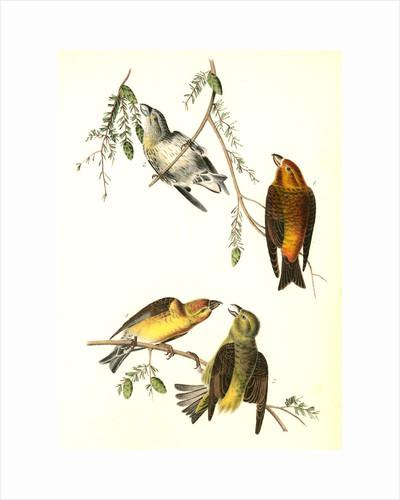 Common Crossbill by John James Audubon