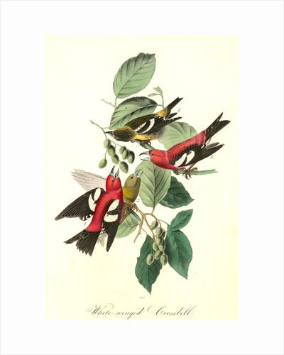 White-winged Crossbill by John James Audubon