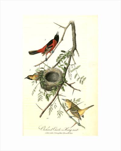 Orchard Oriole, or Hang-nest by John James Audubon