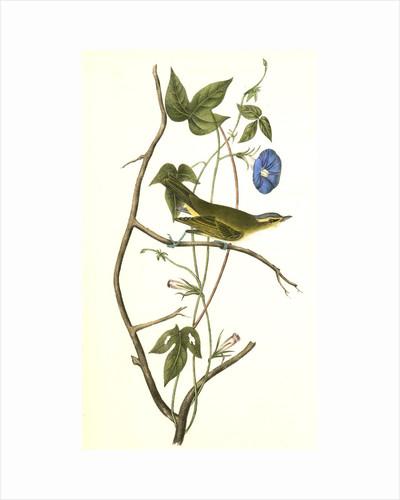 Bartram's Vireo, or Greenlet. Male. (Ipomea) by John James Audubon