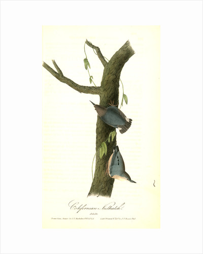 Californian Nuthatch. Adults by John James Audubon