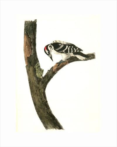 Canadian Woodpecker. Male by John James Audubon