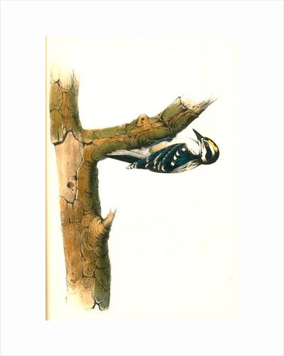 Audubon's Woodpecker. Male by John James Audubon