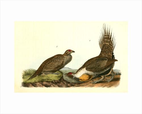 Cock of the Plains by John James Audubon