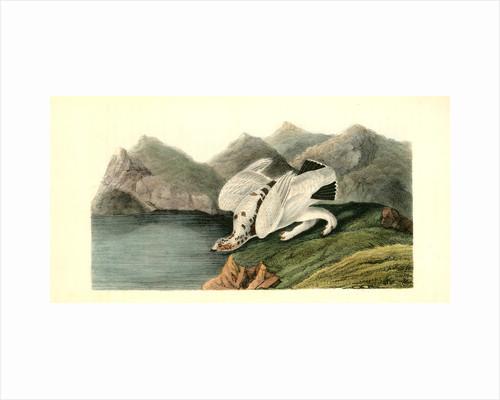 American Ptarmigan. Male by John James Audubon