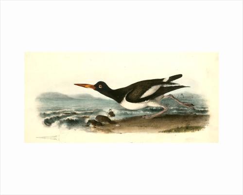American Oyster-Catcher. Male by John James Audubon
