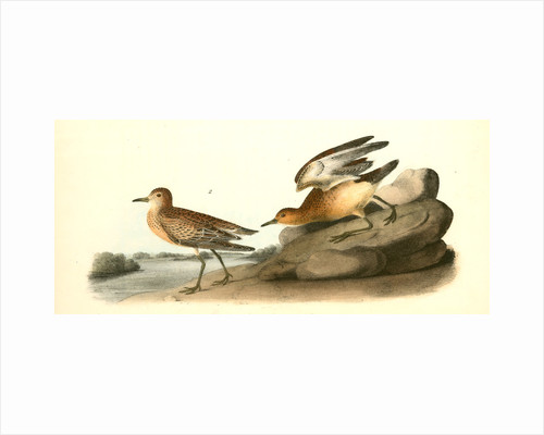 Buff-breasted Sandpiper. 1.Male. 2. Female by John James Audubon