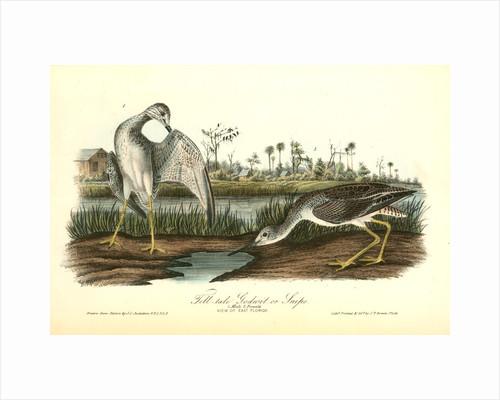 Tell-tale Goswit or Snipe by John James Audubon