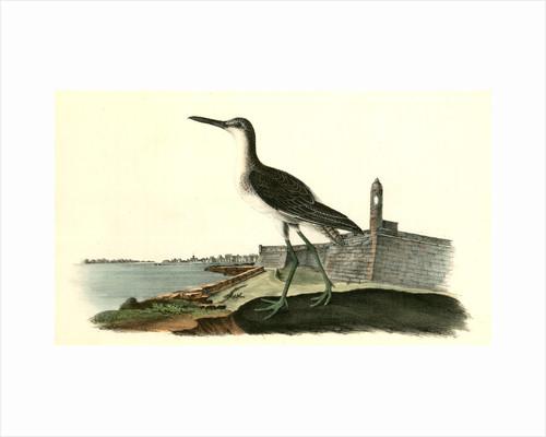 Greenshank. Male by John James Audubon