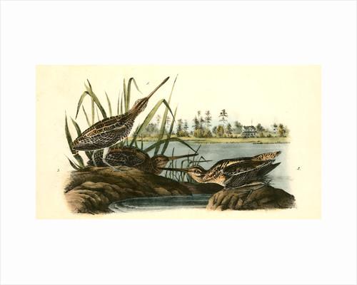 Wilson's Snipe. - Common Snipe by John James Audubon