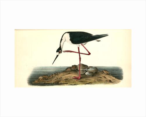 Black-Necked Stillt. Male by John James Audubon