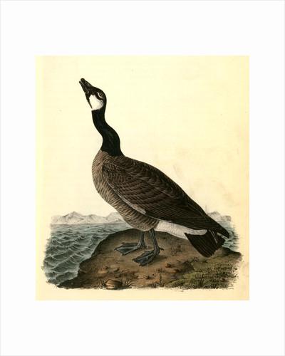 Hutchins's Goose. Adult Male by John James Audubon