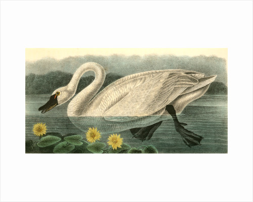 American Swan. Male by John James Audubon