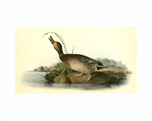 Brewer's Duck. Male by John James Audubon