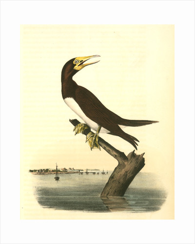 Booby Gannet. Male by John James Audubon