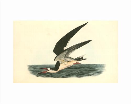 Black Skimmer or Shearwater. Male by John James Audubon