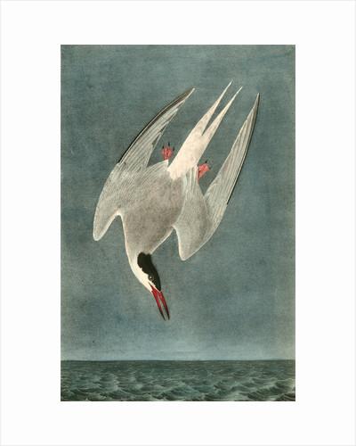 Arctic Tern. Male by John James Audubon