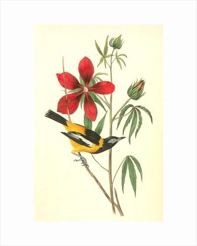 Common Troupial. Male by John James Audubon