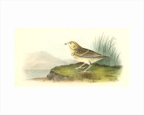 Baird's Bunting. Male by John James Audubon