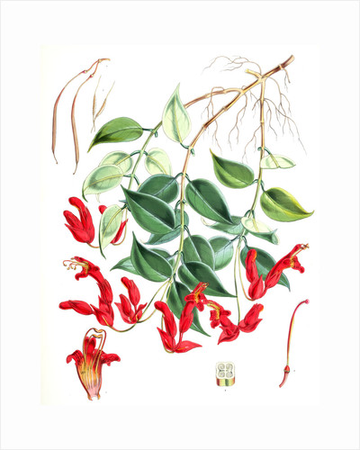 Aeschynanthus Peelii, H.f. & T by Walter Hood Fitch