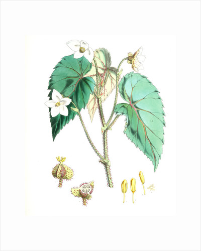 Begonia Cathcartii, H. f. et T by Walter Hood Fitch