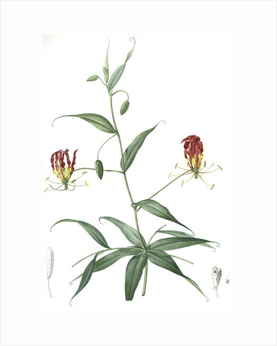 Methonica superba, Gloriosa superba; Méthonique superbe; Gloriosa Lily, Flamelily; Glory flower, Climbing lily by Pierre Joseph Redouté