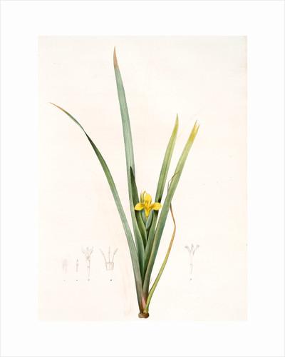 Iris curtopetala, Iris Pseudacorus; Iris à pétales bossus, yellow flag, pale yellow iris, water flag by Pierre Joseph Redouté