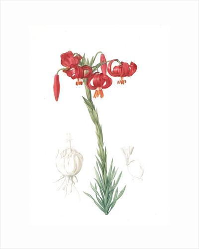 Lilium pomponium, Lilium chalcedonicum; Lis pompon; Chalcedonian Lily, Little or lesser or minor Turk's cap lily; turban lily by Pierre Joseph Redouté