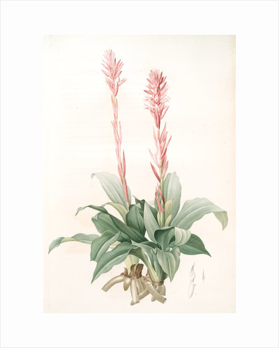 Neottia speciosa, Stenorhynchus speciosus; Néottie à fleurs roses by Pierre Joseph Redouté
