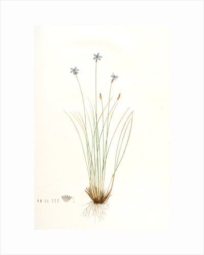 Aphyllanthes monspeliensis, Aphylanthe de Montpellier, Blue Grass Lily by Pierre Joseph Redouté