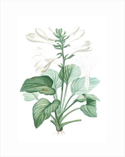 Hemerocallis japonica, Hosta plantaginea; Hémérocalle du Japon, August Lily; Plaintain Lily by Pierre Joseph Redouté