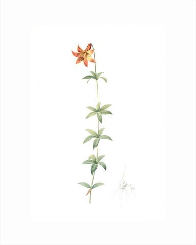 Lilium penduliflorum, Lilium canadense; lis à fleur pendante, Canadian lily; meadow lily by Pierre Joseph Redouté