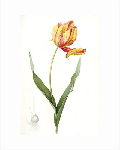 Tulipa Gesneriana var. Dracontia, Tulip des jardins var. le dragon; Parrot Tulip by Pierre Joseph Redouté