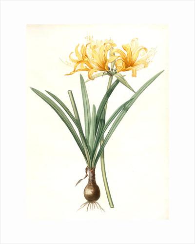 Amaryllis aurea, Lycoris aurea; Amaryllis dorée; Golden Spider Lily, Golden hurricane lily by Pierre Joseph Redouté