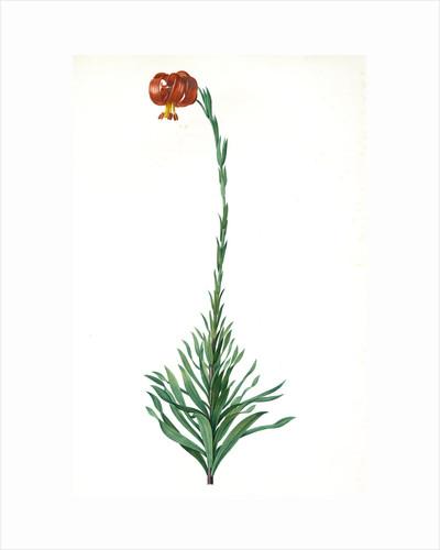 Lilium chalcedoncum, Lis de Chalcédoine; Chalcedonia Lily, Scarlet Turk's-cap Lily; Red Martagon of Constantinople by Pierre Joseph Redouté