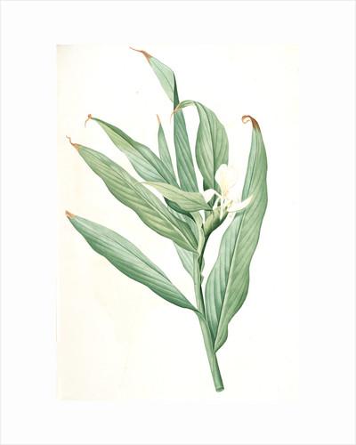 Hedychium coronarium, Hedychium à couronnes; Butterfly Lily or Garland Flower, Ginger Lily by Pierre Joseph Redouté