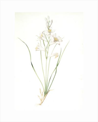 Phalangium liliastrum, Paradisea Liliastrum; Phalangére lis Saint-Bruno; St. Bruno's Lily by Pierre Joseph Redouté
