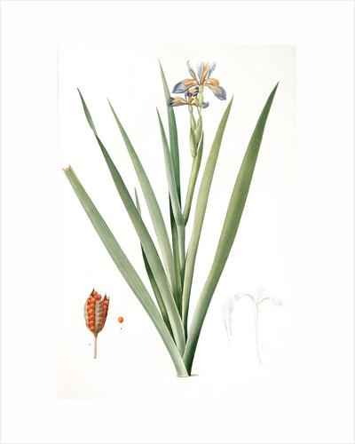 Iris foetidissima, Iris fétide; Gladwyn or Sinking Iris, Roast Beef Plant; Spurge Plant by Pierre Joseph Redouté