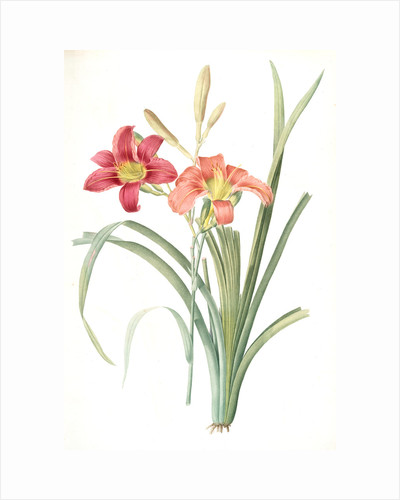 Hemerocallis fulva, Hemerocallie fauve; Tawny Day Lily, orange daylily; common day lily by Pierre Joseph Redouté