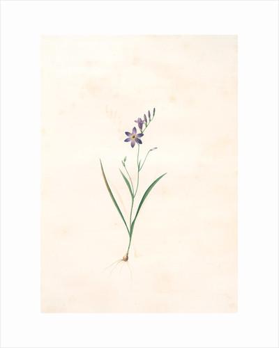 Ixia secunda, Ixia unilatérale, Corn Lily; Wand Lily by Pierre Joseph Redouté