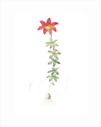 Lilium philadelphicum, Lis de Philadelphie; Glade Lily or Wood Lily by Pierre Joseph Redouté